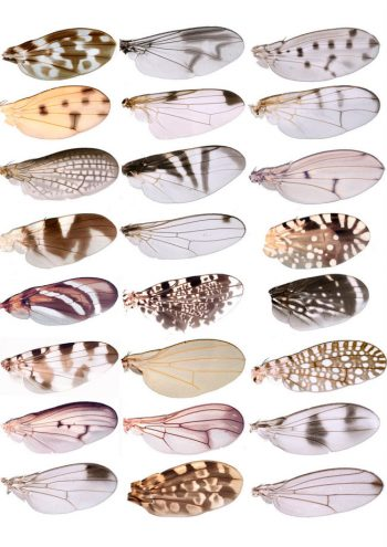 Benjamin Prud'homme [2004] Diversity of wing pigment patterns in Drosophila.